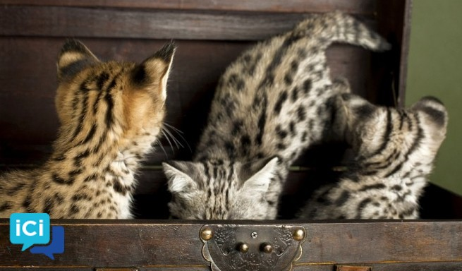 Chatons de savane disponibles