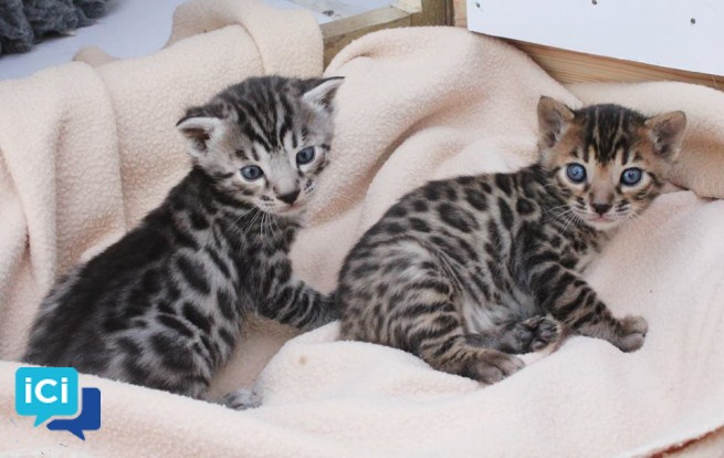 A donner Chatons bengal non loof