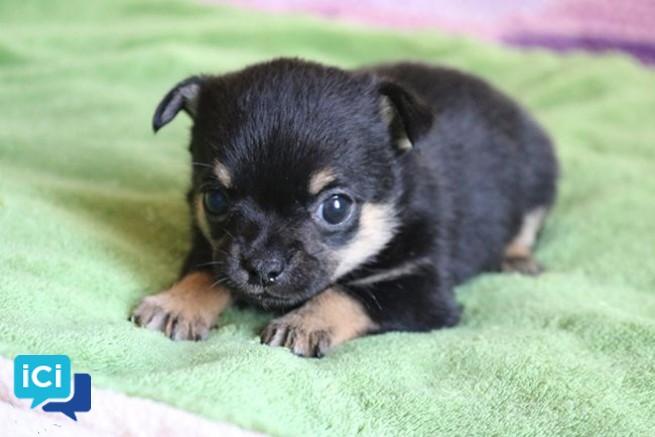 Chiot Chihuahua LOF
