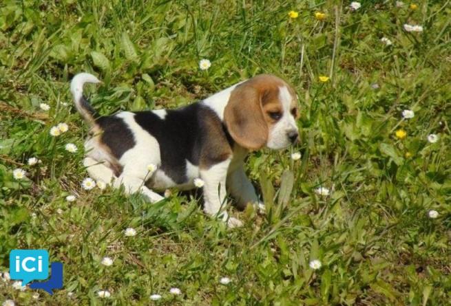 Chiots beagles.