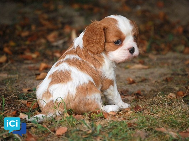 Chiot Cavalier King Charles mâle A DONNER