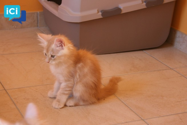 2 chatons maine coon a donner contre bon soin.