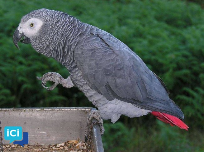Magnifiques perroquets gris du Gabon.