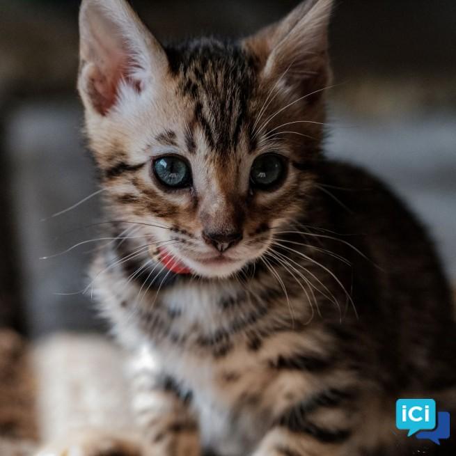 Adorables chatons bengal dispos pour adoption