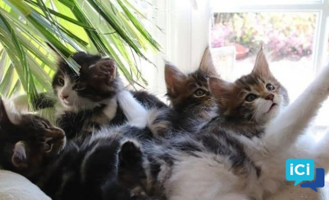 Chatons type maine coon NON LOOF