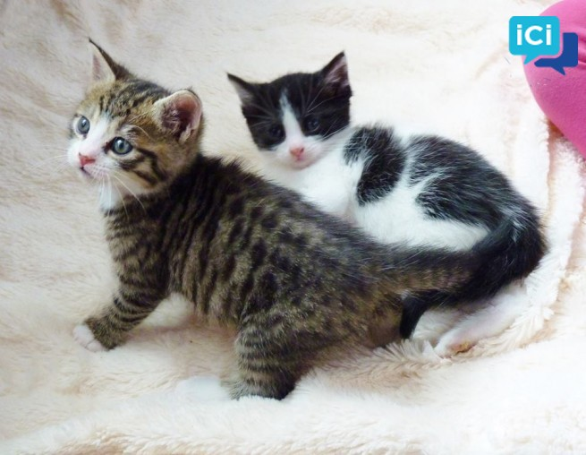 4 chatons Européen disponible