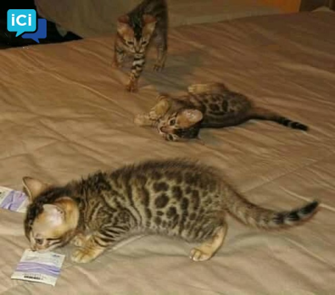 ADORABLES CHATONS BENGALE.