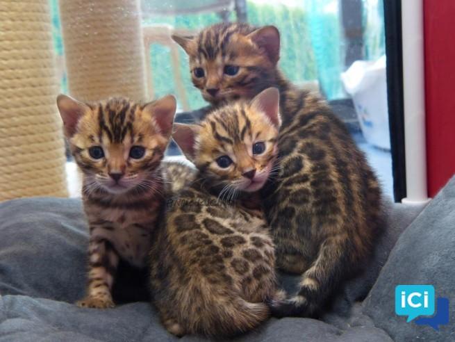 Chatons tigre bengal disponibles contre bon soin