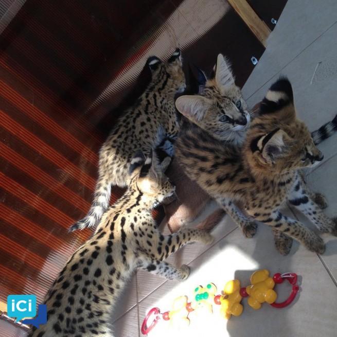 chatons savannah , serval et caracal