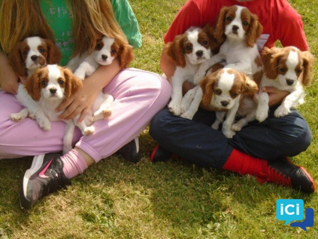 Magnifiques type Cavalier King Charles