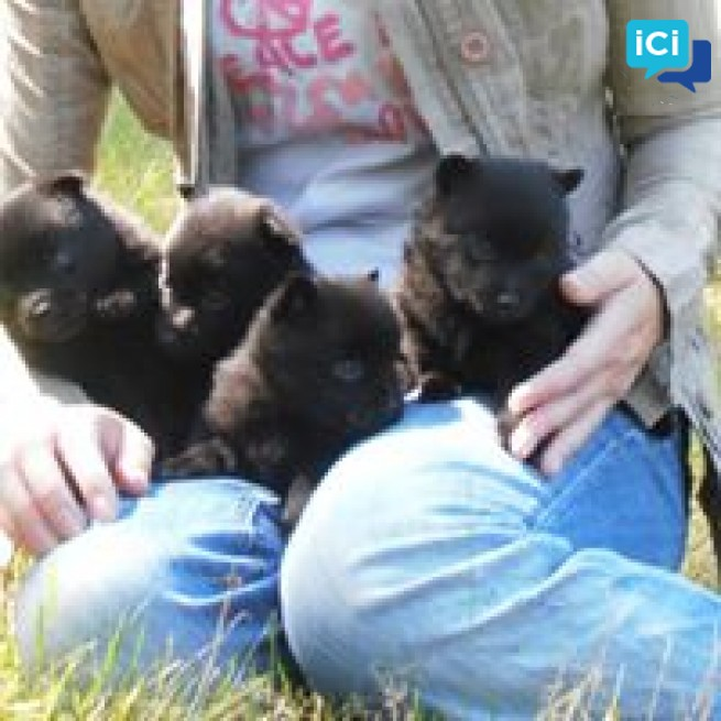 Chiots Schipperke LOF disponible pour adoption